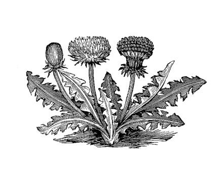 Vintage Botanical Graphic